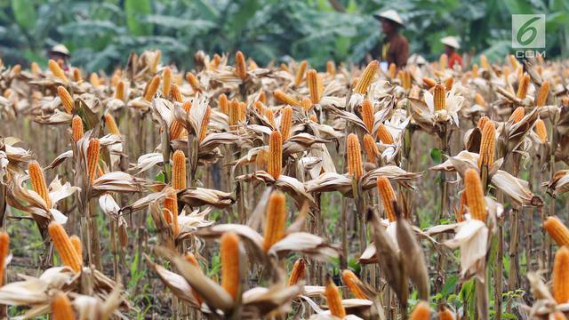 Panen Raya, Petani Tuban Hasilkan 33,7 Ton Jagung