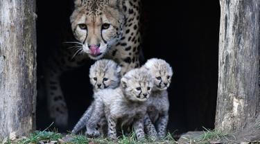 ilustrasi cheetah