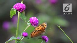 Kupu-kupu hinggap pada bunga di Taman Kupu-Kupu Kalimalang, Jakarta Timur, Jumat  (4/1). Taman Kupu-Kupu Kalimalang juga melakukan budidaya spesies kupu-kupu. (Merdeka.com/Imam Buhori)