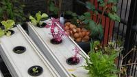 Tanaman urban farming yang ada di halaman depan rumah Sere Rohana, di kawasan Malaka Sari, Duren Sawit, Jakarta Timur. (Liputan6.com/ Ahmad Ibo)