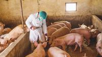 Ilustrasi flu babi (Sumber: Istockphoto)