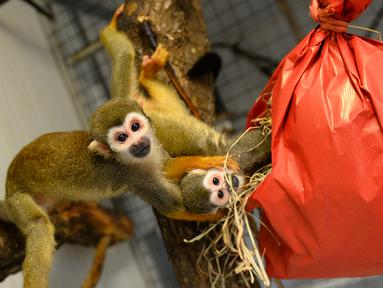 Monyet tupai mencoba membuka paket natal berisi penuh makanan di kebun binatang de Pescheray, Prancis, Selasa (24/12/2019). Tak hanya manusia saja yang merayakan Natal, hewan  di kebun binatang ini disuguhi makanan lezat yang dibungkus dengan kado khas Natal.  (JEAN-FRANCOIS MONIER/AFP)