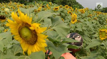 Petugas PPSU merawat bunga matahari yang ditanam di taman pinggir jalan aliran sungai Banjir Kanal Timur, Kawasan Cakung Jakarta, Kamis (16/5). Tanaman bunga matahari dibuat petugas merupakan inisiatif sendiri serta memanfaatkan lahan kosong sebagai sarana tanaman hidup. (merdeka.com/Imam Buhori)