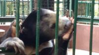 Beruang Madu (Helarctos malayanus) ini selalu saja berulah lucu ketika mendapat sapaan hangat pagi hari. (foto: Liputan6.com / edhie prayitno ige)