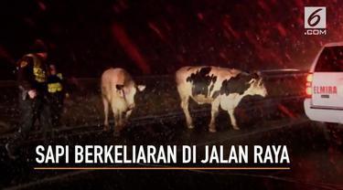 Sekelompok sapi berkeliaran di jalan raya usai truk yang membawanya mengalami kecelakaan.