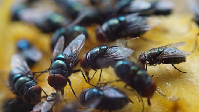 4 Cara Mengusir Lalat Secara Alami, Mudah dan Praktis - Citizen6 Liputan6.com