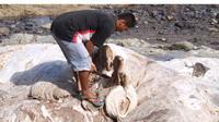 Seekor paus yang diduga paus balin atau paus bungkuk (Megaptera  novaeangliae) terdampar di pantai Liwung Pireng, Desa Kolidetung,  Kecamatan Lela, Kabupaten Sikka, Flores, NTT. Paus yang berukuran panjang  sekitar 18 meter itu mati dan menjadi bangkai.