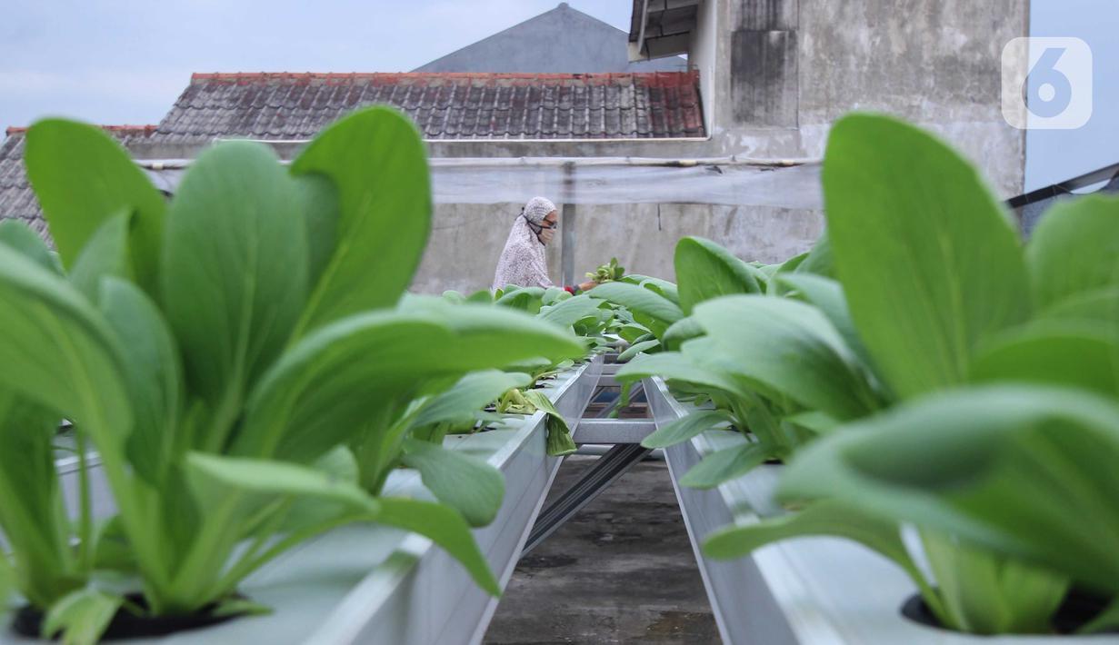 Warga merawat sayuran yang ditanam menggunakan metode hidroponik di atap rumahnya di Ciledug, Kota Tangerang, Banten, Sabtu (24/10/2020). Atap rumah dimanfaatkan untuk budi daya sayuran hidroponik guna menambah pendapatan dan tetap produktif di masa pandemi COVID-19. (Liputan6.com/Angga Yuniar)