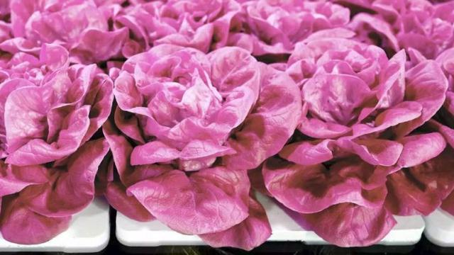 Selada merah muda (Pixabay.com)