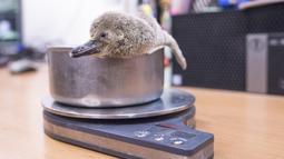 Bayi penguin Humboldt yang berumur satu bulan ditimbang di Kebun Binatang di Praha (11/11/2019). Penguin terakhir yang lahir di Kebun Binatang Praha adalah tiga tahun lalu. (AFP Photo/Michal Cizek)