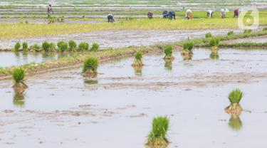 Petani menyiapkan lahan persawahan sebelum ditanami bibit padi di Tangerang Selatan, Jumat (15/10/2020). Guna mendorong masyarakat untuk berinovasi di masa pandemi pemprov Tangsel berharap masyarakat bisa memanfaatkan lahan pertanian yang bisa mendorong laju pertumbuhan. (Liputan6.com/Fery Pradolo)