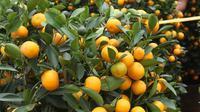 Pekerja menata jeruk kim kit atau jeruk Imlek di Meruya, Jakarta Barat, Sabtu (26/1). Jeruk tersebut didatangkan langsung dari China. (Liputan6.com/Angga Yuniar)