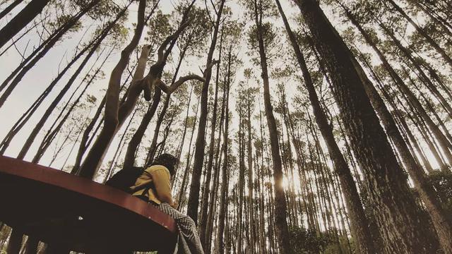 6 Wisata Hutan Pinus Mengagumkan Yang Sayang Dilewatkan