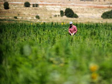 Pekerja menyingkirkan kotoran dan daun kering di ladang ganja di Lembah Bekaa, Desa Yammoune, Kota Baalbek, Lebanon, Senin (23/7). Parlemen Lebanon tengah merancang kebijakan untuk legalisasi ganja medis. (AP Photo/Hassan Ammar)