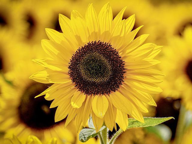 Ciri Khusus Bunga Matahari Selalu Ikuti Arah Cahaya Matahari Hot Liputan6 Com