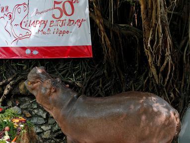 Seekor kuda nil betina bernama Mali merayakan ulang tahun ke-50 di Kebun Binatang Dusit, Bangkok, Thailand, Jumat (23/9). (REUTERS / Chaiwat Subprasom)