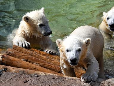 Bayi beruang kutub kembar tiga yang lahir pada Desember tahun lalu terlihat di taman hiburan Marineland di Kota Antibes, Prancis, Kamis (14/5/2020). (Xinhua/Serge Haouzi)