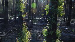 Pohon-pohon kembali bertunas setelah sempat terbakar hangus dalam kebakaran hutan di dekat Teluk Batemans, Australia, Jumat (27/2/2020). Sebanyak 5,8 juta hektare hutan berdaun lebar terbakar antara September 2019 hingga Januari 2020 di negara bagian Victoria dan New South Wales. (Xinhua/Chu Chen)