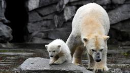 Bayi beruang kutub dan ibunya yang bernama Tonja bermain dalam kandang mereka di Kebun Binatang Tierpark, Berlin, Jerman, Jumat (15/3). Belum ada nama yang disematkan kepada bayi beruang kutub tersebut. (John MACDOUGALL/AFP)