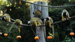 Tupai mencari makanan dalam labu saat merayakan Hari Halloween di Kebun Binatang London, Inggris, Kamis (25/10). (Yui Mok/PA via AP)