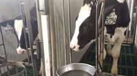 Peternakan sapi milik Greenfields di Malang. (Liputan6.com/Citra Dewi)