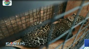 Usai jalani observasi, BKSDA Jabar kembali lepasliarkan macan tutul jawa di kawasan Cagar Alam Gunung Tilu.