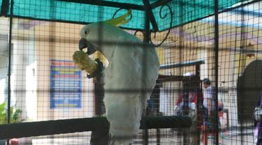 Burung Kakak Tua, burung dilindungi namun banyak dipelihara secara illegal. (Foto: Liputan6.com/Muhamad Ridlo).