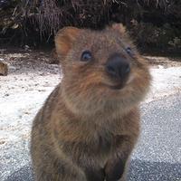 Simak sederet wajah bahagia Quokka yang bisa bikin kamu ikut senyum-senyum sendiri. (Via: boredpanda.com)