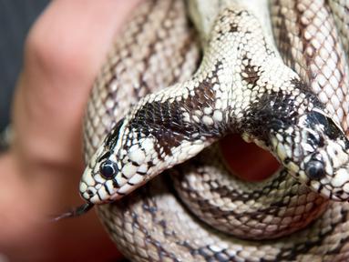 Seekor ular raja California berkepala dua berusia 17 tahun (Lampropeltis getulus californiae) bernama Tom & Jerry dipamerankan di 'Expo Reptil', Villeneuve, Swiss (22/12). Expo Reptil pameran keliling terbesar di Eropa. (Laurent Gillieron/Keystone via AP)