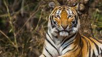 Ilustrasi harimau (iStock)