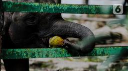 Gajah memakan kelapa dari petugas di Taman Margasatwa Ragunan, Jakarta Selatan, Senin (20/4/2020). Pihak pengelola Taman Margasatwa Ragunan tetap melakukan perawatan terhadap seluruh satwa selama pandemi virus corona COVID-19. (Liputan6.com/Faizal Fanani)