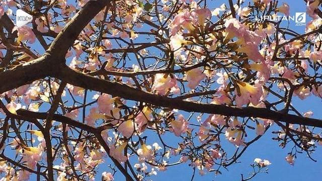 Viral bunga Tabebuya yang mekar di Surabaya. Warganet mengibaratkan mekarnya Tabebuya seperti bunga Sakura di Jepang.