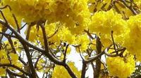 Tebebuya mekar serentak atau 'Bloom' di sepanjang Jalan Jenderal Soedirman, Purwokerto. (Liputan6.com/Muhamad Ridlo)
