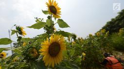 Petugas PPSU merawat bunga matahari yang ditanam di taman pinggir jalan aliran sungai Banjir Kanal Timur, Kawasan Cakung Jakarta, Kamis (16/5). Sekitar 100 tumbuhan bunga matahari ditanam di kawasan tersebut. (merdeka.com/Imam Buhori)