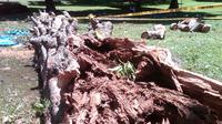 Pohon Agatis yang tumbang di Kebun Raya Bogor, Minggu (11/1/2015) (Liputan6.com/Bima Firmansyah)