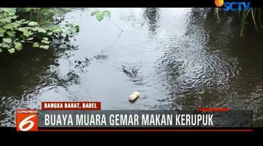 Menurut warga, kebiasaan buaya makan kerupuk itu lantaran pedagang kerupuk keliling kerap membuang kerupuk yang kadaluarsa ke sungai.