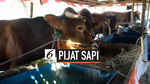 Seorang penjual sapi di Surabaya memiliki terapi khusus bagi sapi yang dijual untuk hewan kurban. Sapinya dirawat dengan memberikan pijatan dan jamu agar kondisi sapi tetap sehat dan tidak stres.