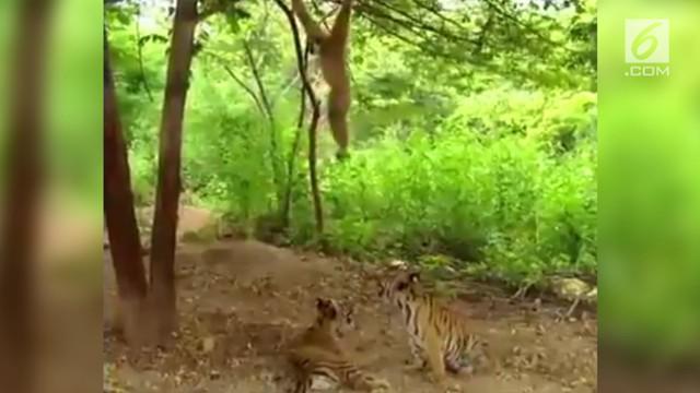 Kocak dan menggemaskan, aksi monyet menjahili dua anak harimau.