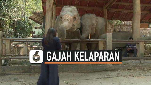 gajah kelaparan