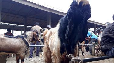 Kambing kurban super, jenis peranakan etawa di Pasar Karangpucung, Cilacap, Jawa Tengah. (Foto: Liputan6.com/Muhamad Ridlo)
