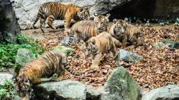 Lima anak harimau Siberia spesies langka Kelas 1 yang dilindungi Areum, Daun, Oori, Nara, dan Gangsan terlihat di kebun binatang taman hiburan Everland, Yongin, Provinsi Gyeonggi-do, Korea Selatan, 30 September 2021. Arti nama kelimanya 'Pemandangan indah negara kita'. (ANTHONY WALLACE/AFP)