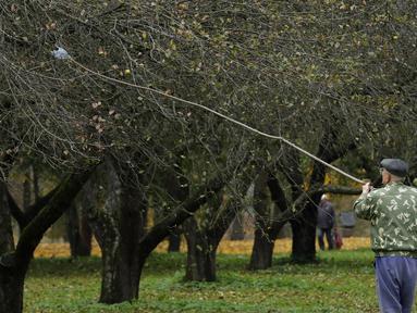 Seorang pria memetik buah apel dengan menggunakan alat seadanya di kebun apel di taman kota di Minsk, Belarusia (11/10/2019). Beberapa orang datang ke taman setiap hari untuk mengumpulkan apel secara gratis, dan ini sangat populer dengan orang-orang pensiunan. (AP Photo/Grits Sergei)