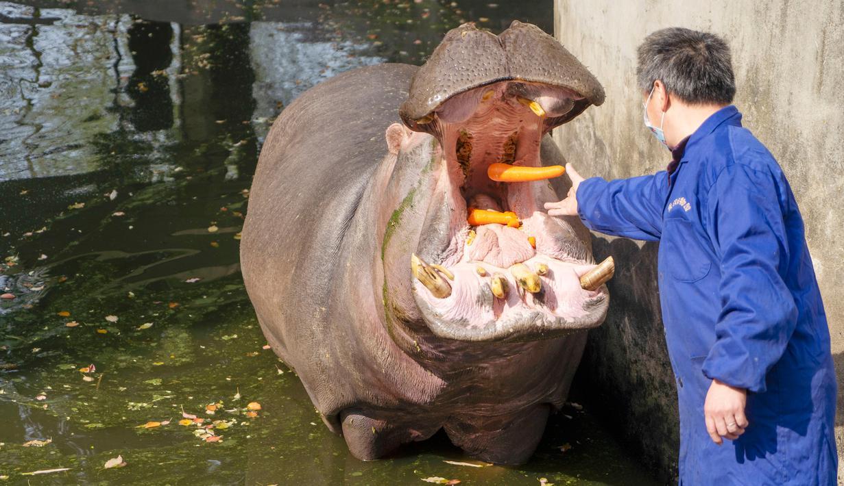 Petugas pemelihara hewan memberi makan kuda nil di Kebun Binatang Wuhan di Wuhan, Provinsi Hubei, China tengah, pada 13 Maret 2020. Kebun Binatang Wuhan ditutup pada 22 Januari lalu setelah merebaknya COVID-19. (Xinhua/Cai Yang)