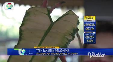 Tren tanaman hias Aglaonema saat pandemi Covid-19 membuat omzet pedagang tanaman melonjak tinggi. Meski mendapat untung yang besar, mereka harus berburu dagangan hingga antre lebih dari 6 jam untuk memilih berkebun tanaman hias aglaonema.