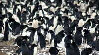 Penampakan koloni penguin Adélie yang diabadikan oleh ilmuwan. (Michael Polito/Louisiana State University)