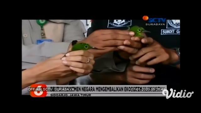 Ratusan burung dilindungi yang akan diselundupkan disita dari pelabuhan Tanjung Perak. Burung-burung tersebut kemudian dilepasliarkan di habitat aslinya di Kalimantan.