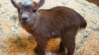 Lahir dari sang ibu bernama Leia, anak kambing yang diberi nama Chewbacca ini memiliki berat 4 pon atau sekitar 2 kilogram.