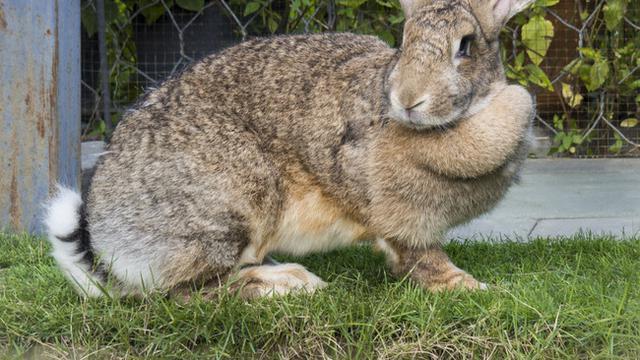 Jenis Kelinci Hias