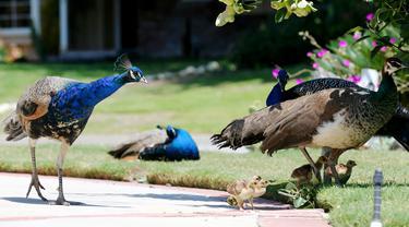 Burung merak berkumpul di jalan masuk rumah penduduk di Arcadia, California, Selasa (8/6/2021). Burung merak akhir-akhir ini menjadi gangguan bagi sebagian warga di wilayah tempat mereka berkeliaran bebas setelah program relokasi burung merak terhenti selama pandemi. (Mario Tama/Getty Images/AFP)