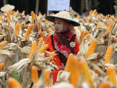 Petani melakukan panen raya jagung di Tuban, Jawa Timur, Jumat (9/3). Panen raya tersebut menghasilkan 33,7 ton jagung. (Liputan6.com/Angga Yuniar)